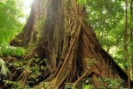 fig-tree-big-1_lowres.jpg