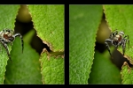 Diptych-jumping spider