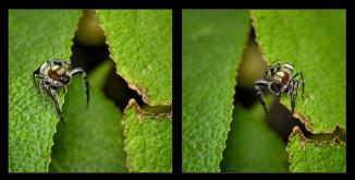 Diptych-jumping-spider.jpgimgmax2600