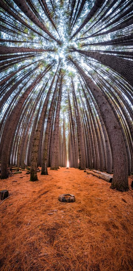 Sugar Pine Forest - Bent